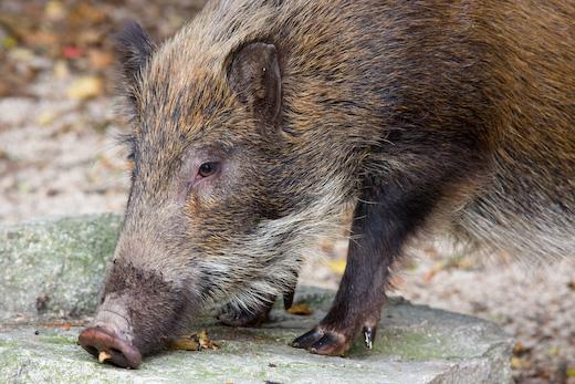 boar04s